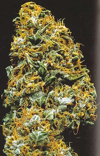 kc brains california special